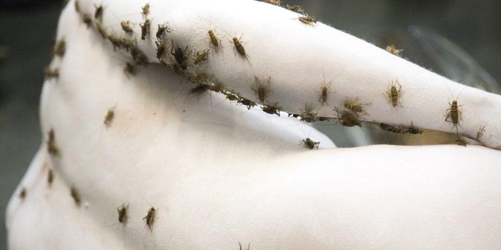 crickets3 Kopie